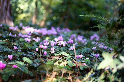 Cyclamen growing under the shade of a tree. Image: RHS