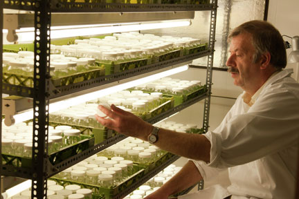 Viv Marsh, nursery owner, checking stock of Alstroemeria raised by micropropagation
