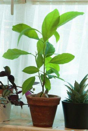 Avocado Rhs Gardening