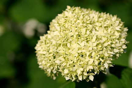 Hydrangea arborescens 'Annabelle'. Credit: RHS/Advisory.