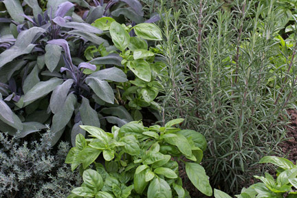 Herbs: growing