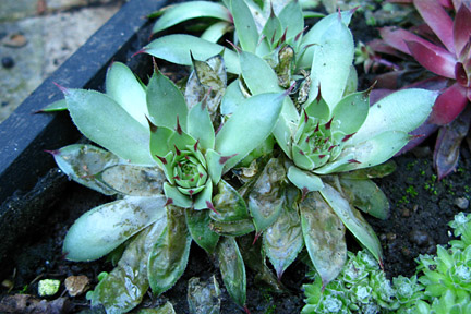 Damage caused by sempervivum leaf miner. Image: RHS