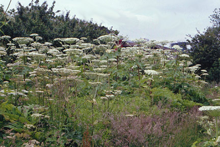 Giant hogweed. Credit: RHS/Advisory.