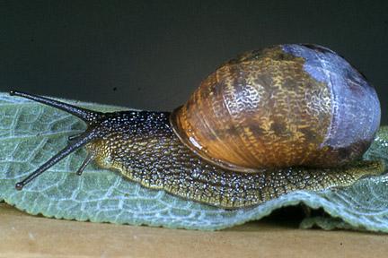 Snails / RHS Gardening