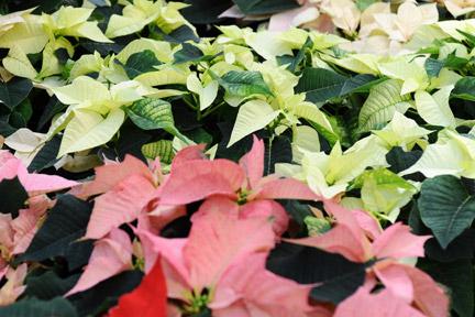 Christmas-flowering houseplants / RHS Gardening on trees names, african violet names, flowers names, palm houseplants names, wildflowers names, tropical houseplants names,