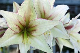 Hippeastrum 'Green Magic' - click for RHS advice on growing hippeastrums