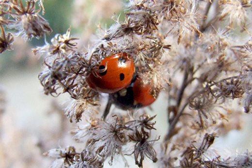 over-wintering ladybirds