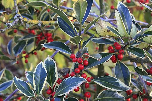 Variegated holly 'Handsworth New Silver'
