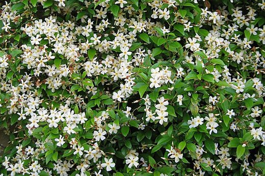 10 agm winning conservatory shrubs and climbers rhs gardening - Climbing plants that produce fragrant flowers ...
