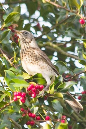 A fieldfare rests in a holly