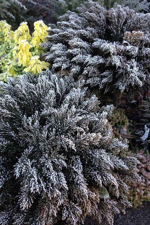 Hebe ochracea 'James Stirling' in frost