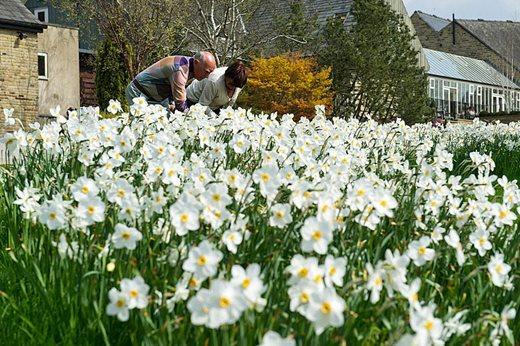 Visitors looking at daffodils at Harlow Carr