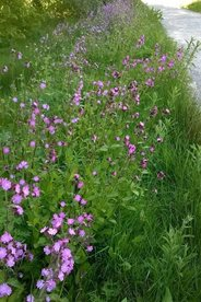 Red campion on a roadside verge