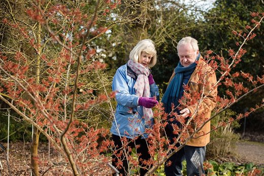 Garden visitors admire Wisley's witch hazels