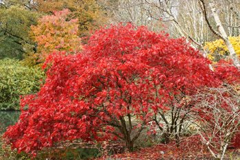 The beautiful Acer on the river at Rosemoor