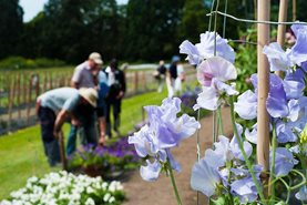 Sweet Pea trial assessment at the National Sweet Pea Society event in summer at RHS Garden Wisley 2014