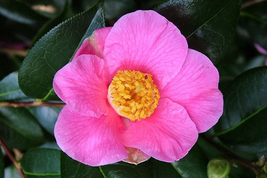 Camellia x williamsii 'Saint Ewe'