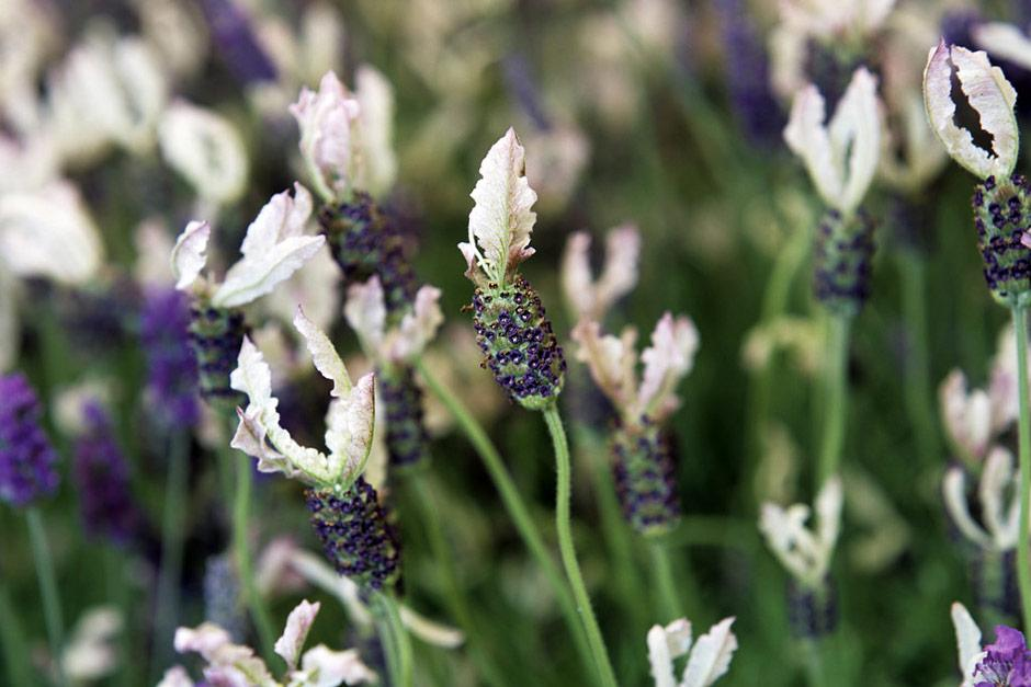 Top 10 Lavender Varieties To Grow In Your Garden Page 9