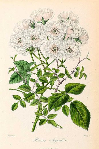 Rosier Ayrschire, lithograph from Roses et rosiers, 1873