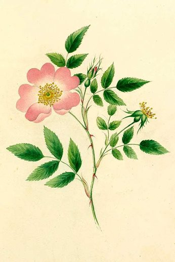 Rosa canina, watercolour by Lydia Renrose, early 19th century