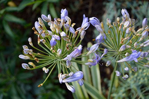 Agapanthus with gall midge damage