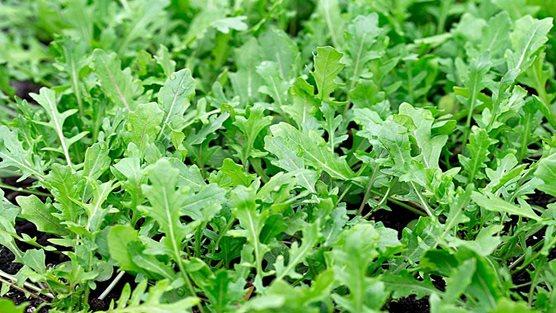 Salad Leaves In Growing Bags