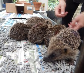 The young hedgehogs just after being weighed
