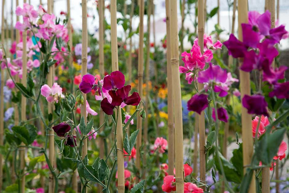 How To Grow Lathyrus Rhs Gardening
