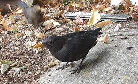 The male blackbird eats what he can before the female gets there