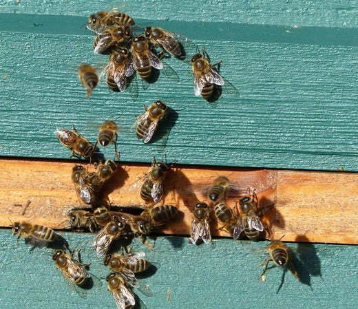 Bees cluster and mingle outside the hive