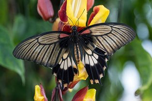 Butterflies in the Glasshouse returns to Wisley, 13 January - 4 March 2018
