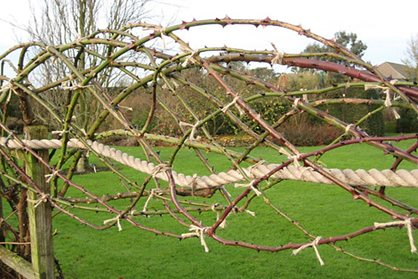Roses pruned over ropes at RHS Garden Hyde Hall