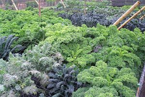 Kale trial at Wisley