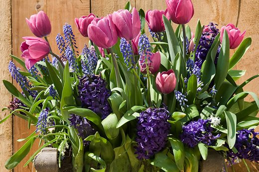 Bulbs for pots – rich blues collection
