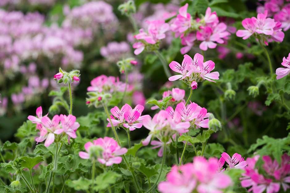 How To Grow Pelargoniums Rhs Gardening