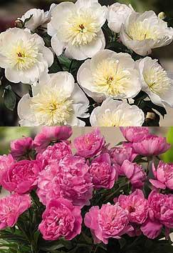 Patio peonies 'Madrid' (top) and 'Rome'