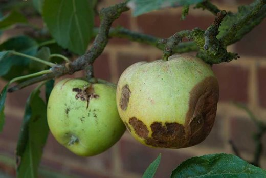 apple brown rot
