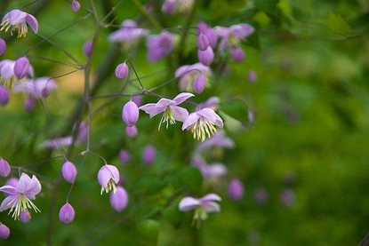 Rhs plant trials blog uncovering the charms of for Thalictrum rochebrunianum rhs
