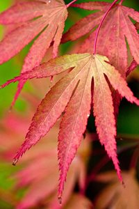 The Acer's beautiful autumn leaves