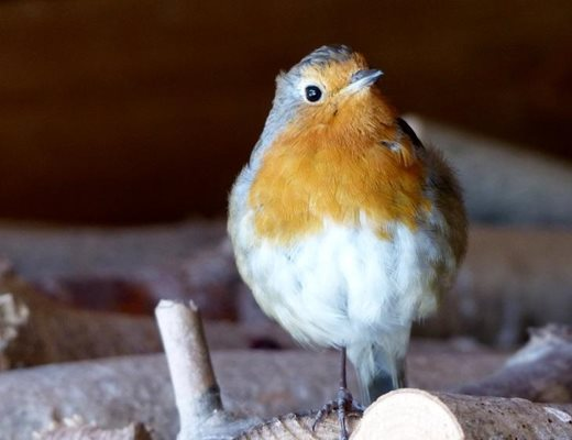 The robin going through its annual moult