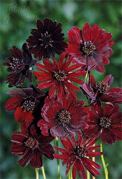 Cosmos atrosanguineus 'Black Magic'