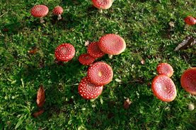 Fly agaric as flattened cap