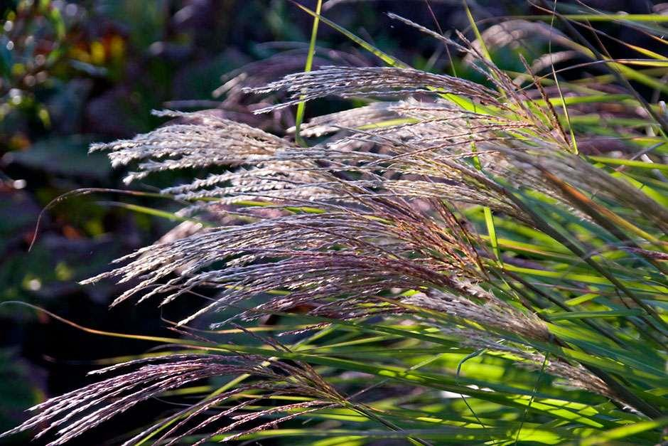 See our top 10 autumn ornamental grasses for the garden rhs gardening rhs blog deep in stipa workwithnaturefo