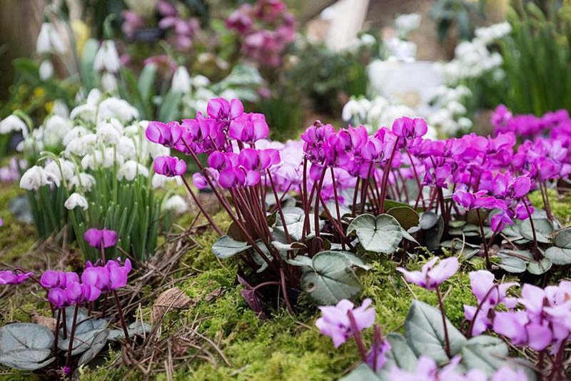 Fearless flowers: Cyclamen coum
