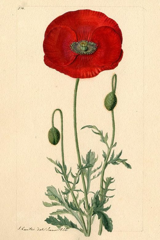 Poppy from a watercolour by John Curtis, 1824, produced for Curtis's Botanical Magazine