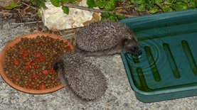 Young hedgehogs eating and drinking