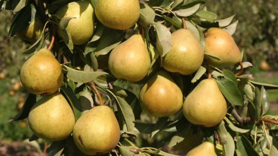 How To Grow Pears Rhs Gardening