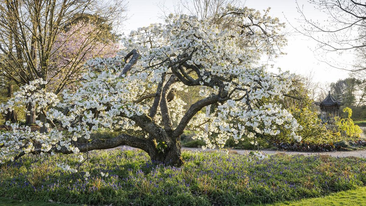 Spring blossom at Wisley