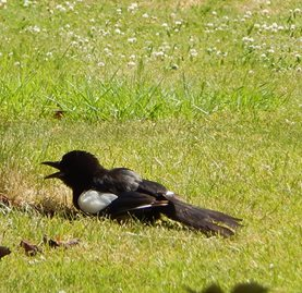 A magpie basks in the sun