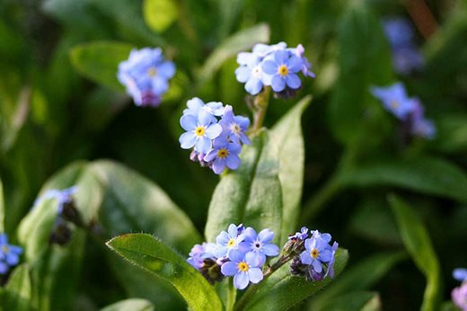 Myosotis - forget-me-not